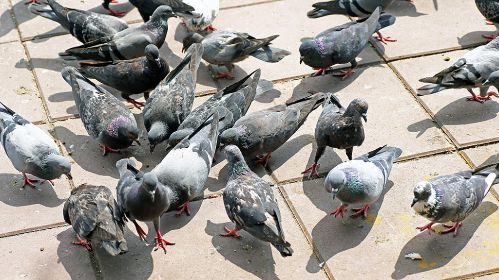 Gibt es bald eine Lösung für das Taubenproblem