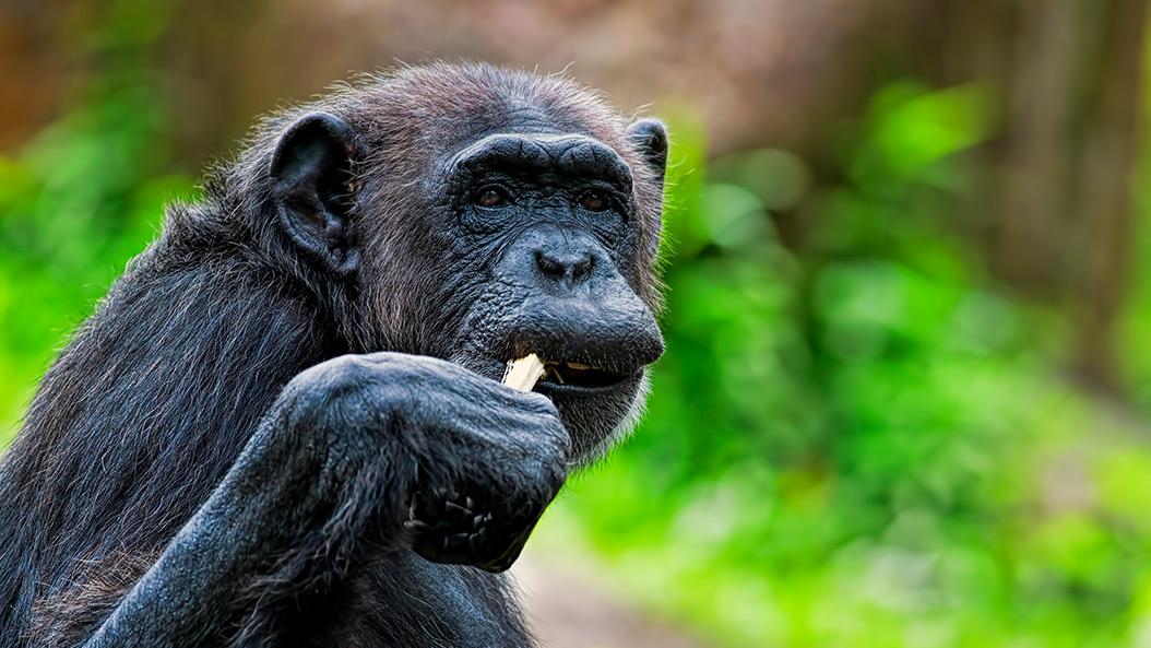 Neue Heimat für Bonobo-Baby gefunden